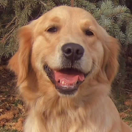 petrede-labrador-golden-retriever