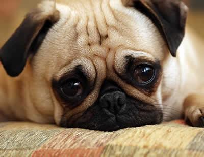 8 sinais de ansiedade que o seu cachorro pode apresentar