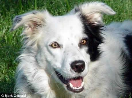 Conheça Chaser, o cachorro mais inteligente do mundo