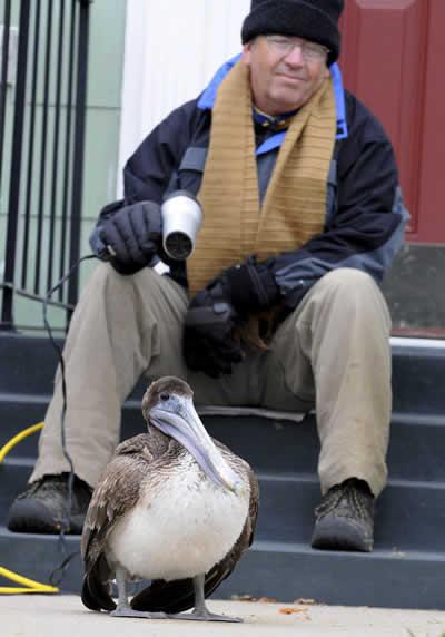 petrede-americano-aquecendo-pelicano