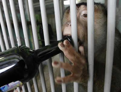 Macacos bebem vinho em zoo russo para evitar infecções