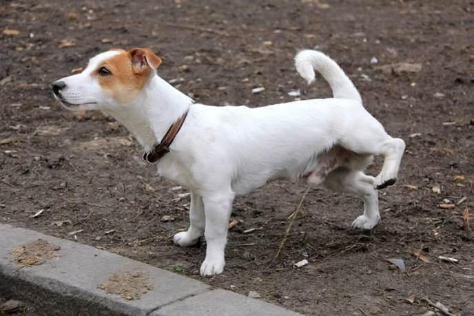 cachorro-urina-fazendo-xixi-petrede