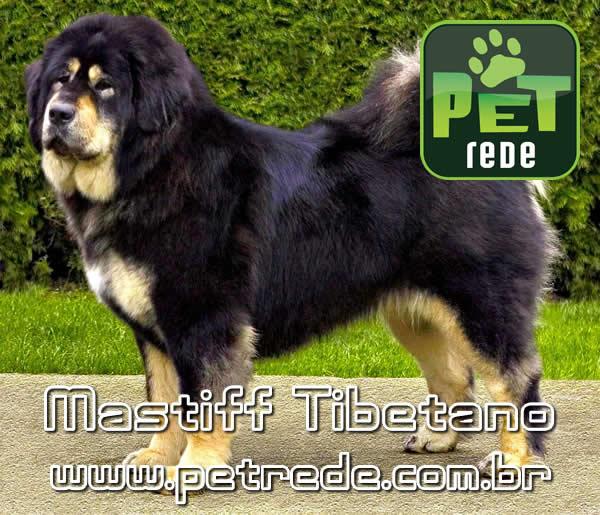 mastiff-tibetano-petrede