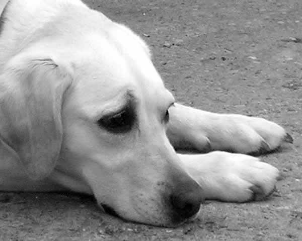 Cachorros podem ser otimistas ou pessimistas