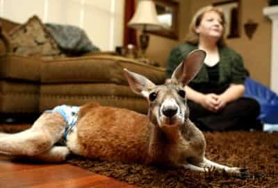 Carne de canguru pra salvar o planeta?