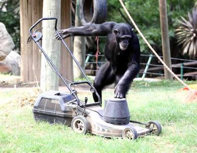Chimpanzé vira atração na África do Sul por cortar grama