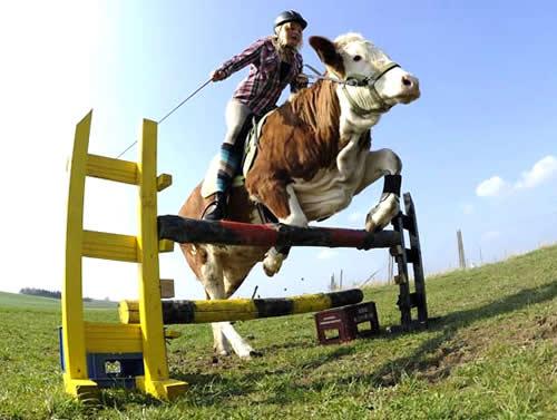 Alemã usa vaca como montaria para saltar obstáculos