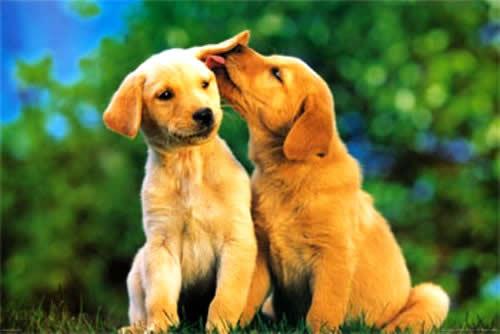 labrador-casal-cachorro-amor-namoro-petrede