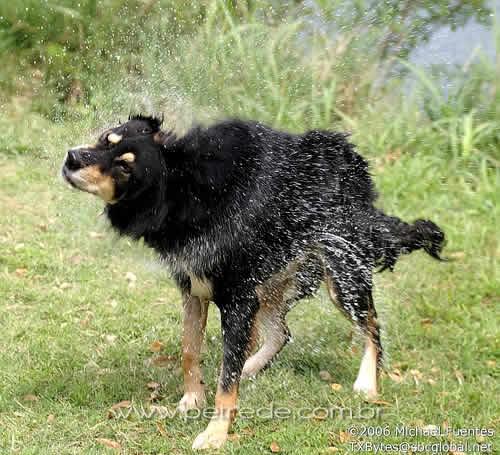 Movimento que cachorro faz para se secar pode trazer inovações
