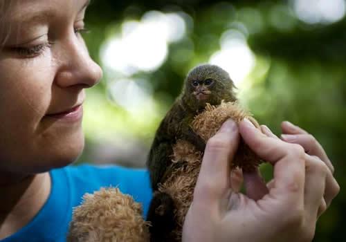 Sagui-pigmeu de 12,7 centímetros pode ser o menor do mundo