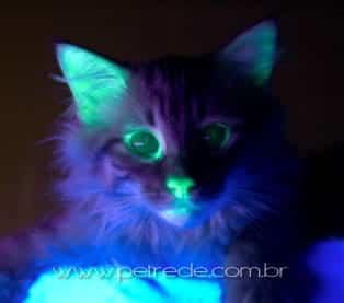 """Gato """"verde"""" criado em laboratório é resistente à aids felina"""