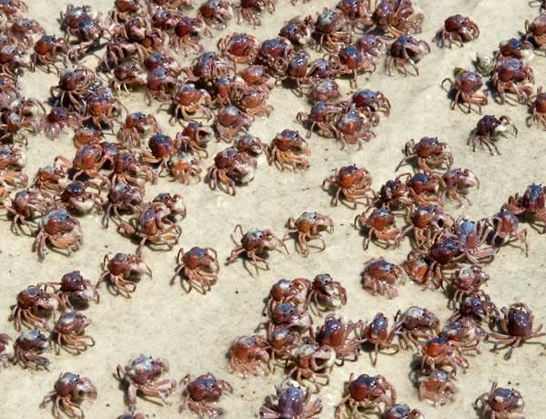Computação animal: caranguejos podem ser a nova tecnologia