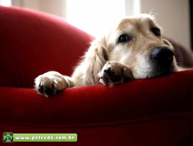 cachorro-casa-apartamento-sala-sofa-olhar-petrede