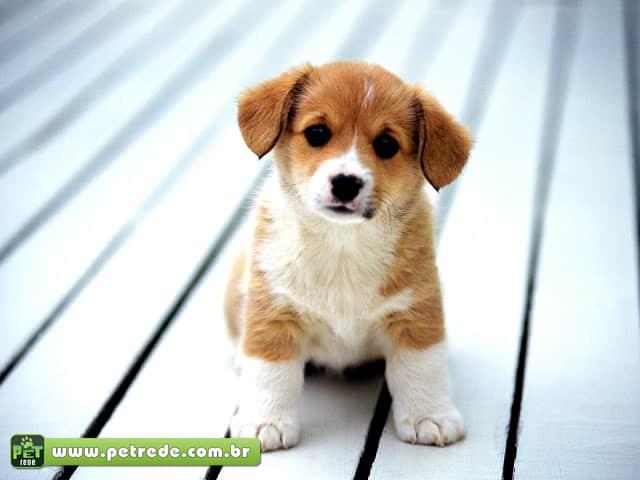 cachorro-filhote-petrede