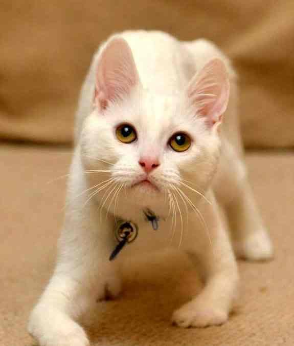Gato que nasceu sem ossos nas patas aprende a andar com cotovelos