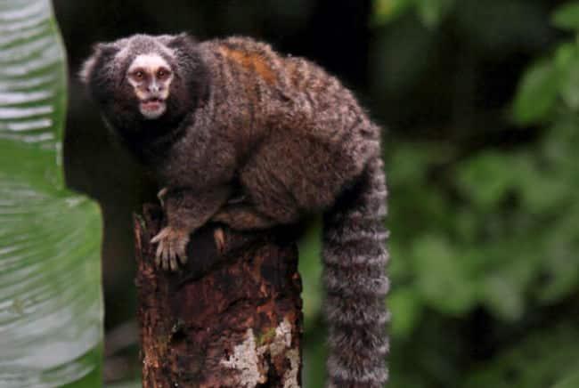 Você sabia que saguis têm conversas educadas e chimpanzés fingem dar risada?