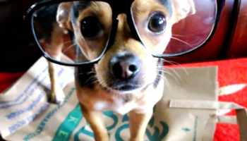 Será que os cães também precisariam usar óculos quando envelhecem  8db175c33a