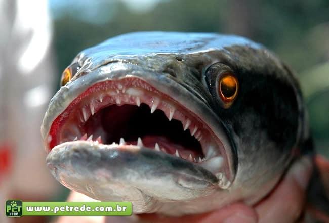 EUA: peixe que sobrevive dias fora da água ameaça lago do Central Park