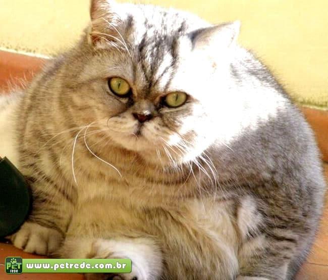 gato-gordo-obeso-peso-petrede
