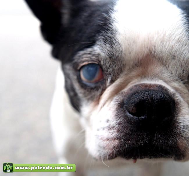 cachorro-cego-catarata-velho-idoso-petrede
