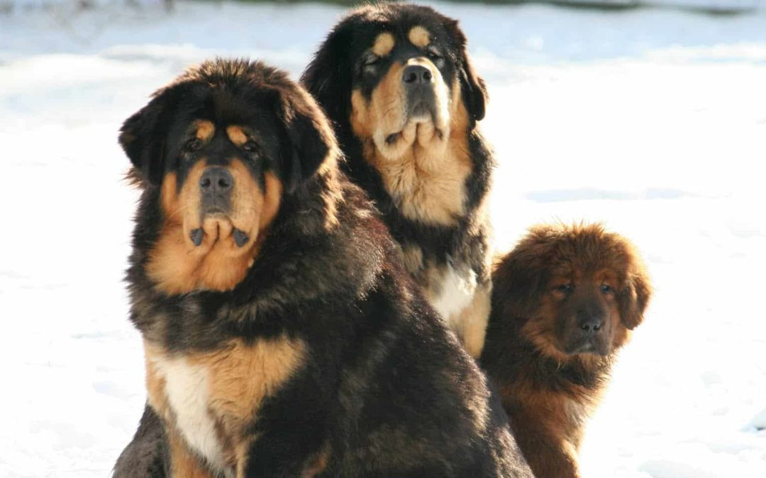 Um cachorro de 370 mil reais para proteger quem tem tudo