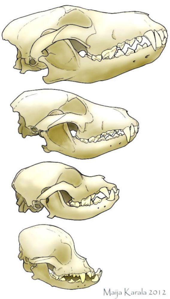 cranio-de-lobo-husky-siberiano-lhasa-apso-pequines