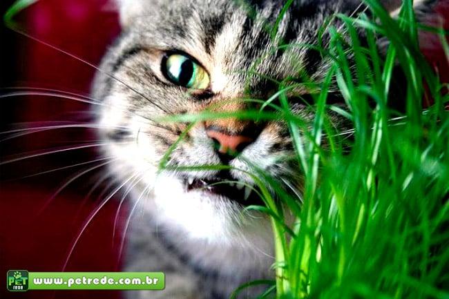 Saiba o que é o Catnip, a Erva dos Gatos
