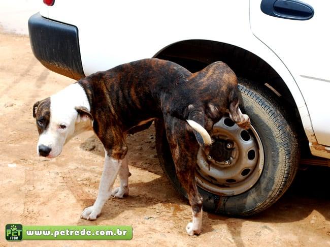 cachorro-xixi-urina-roda-carro-marcando-territorio-petrede