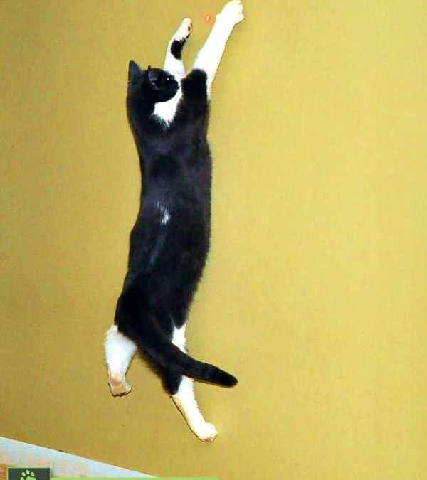 Por que os gatos enlouquecem com lasers?