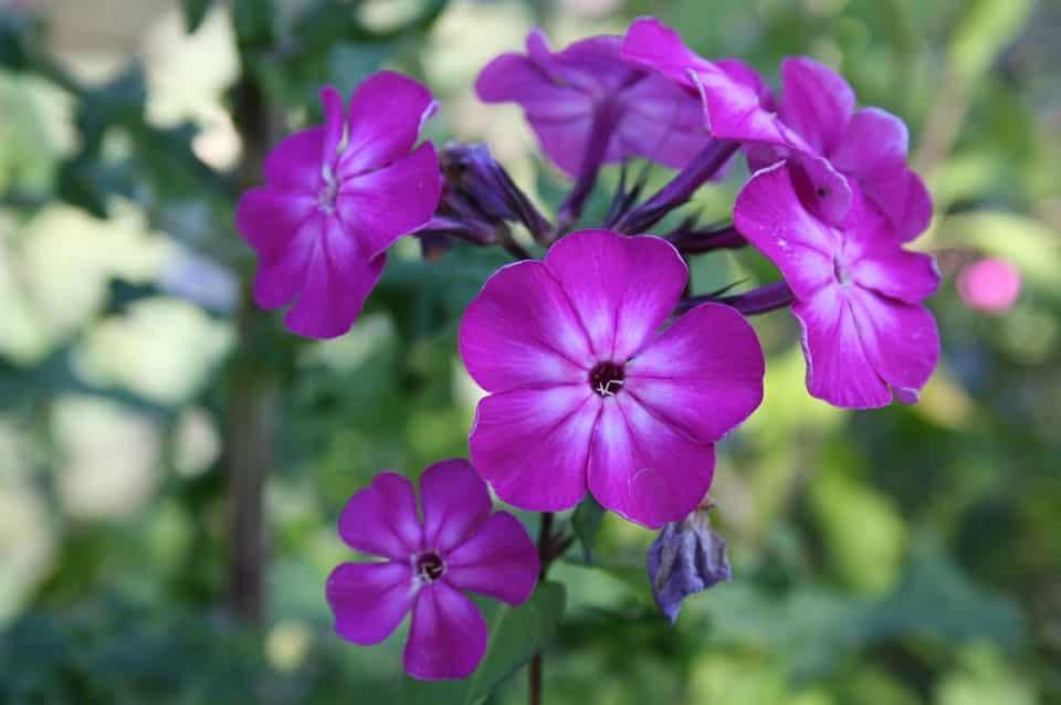 planta-toxica-para-cachorro-gato-violeta-petrede