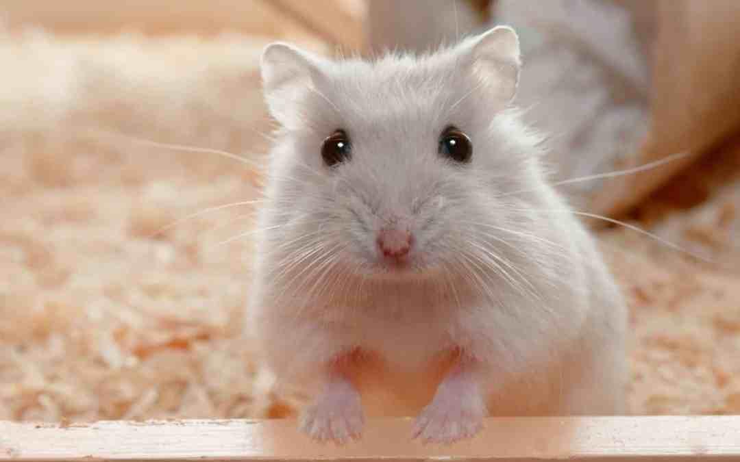 As crianças querem um hamster, e agora?