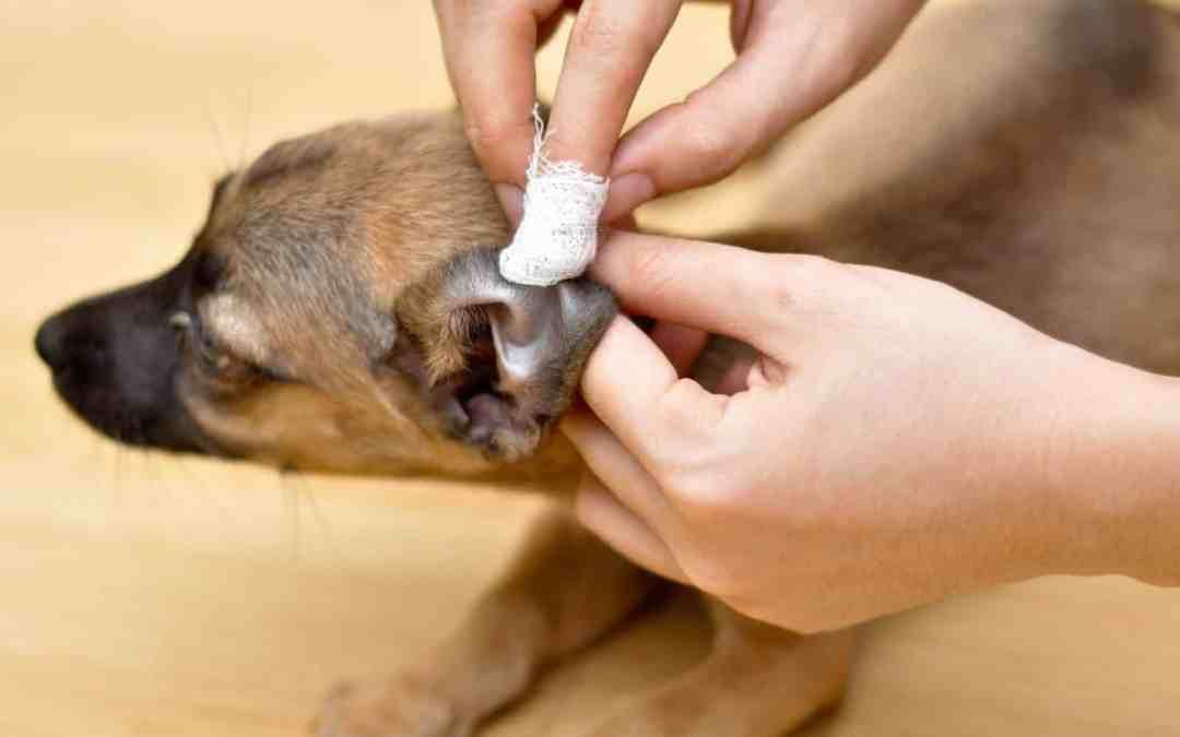 5 Dicas para cuidar corretamente dos ouvidos do seu pet