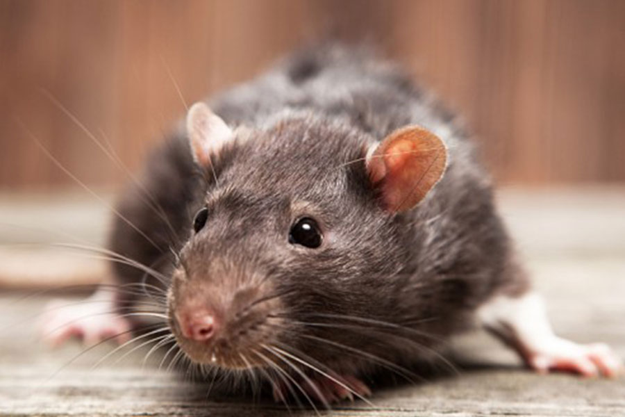 jasa pembasmi tikus di jakarta depok tangerang bekasi bogor