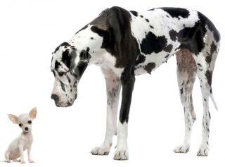 un chiot chihuahua et croquettes le dogue allemand