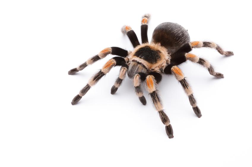 red knee tarantula education