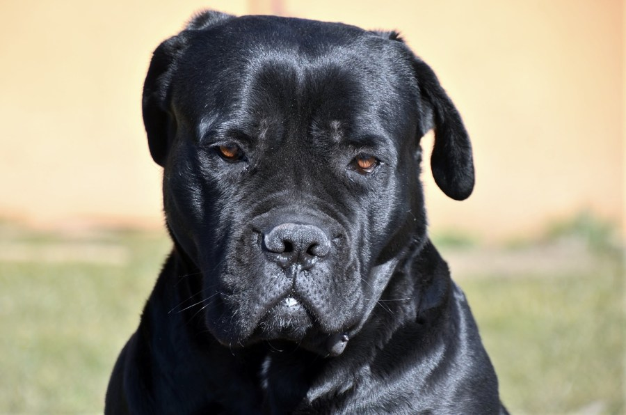 Cane Corso Dog breeds – Complete Profile, History, and Care. https://www.petspalo.com