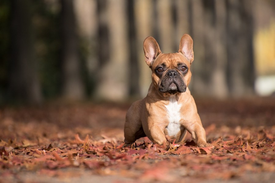 French Bulldog Dog Breed - Complete Profile, History, and Care. https://www.petspalo.com