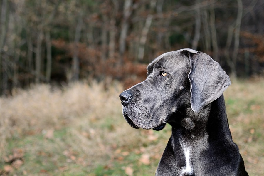 Great Dane Dog Breed - Complete Profile, History, and Care. https://www.petspalo.com