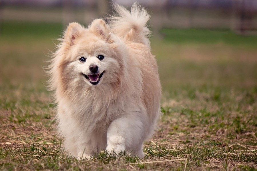 Pomeranian Dog Breeds - Complete Profile, History, and Care. https://www.petspalo.com