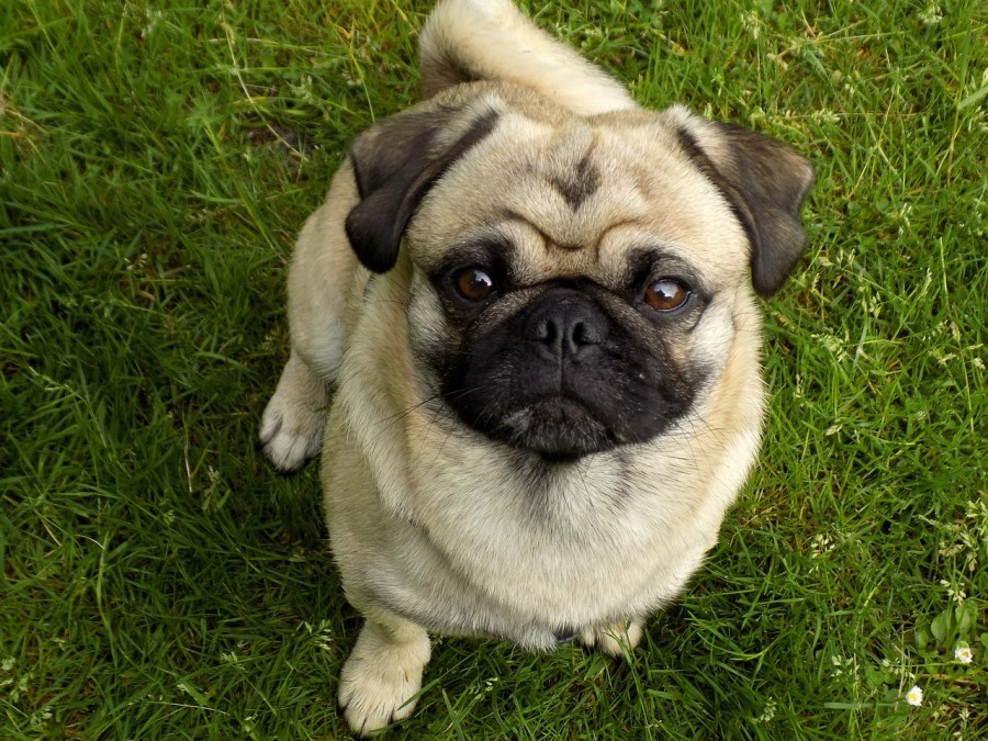 Pug Dog breed - All you need to know. https://www.petspalo.com