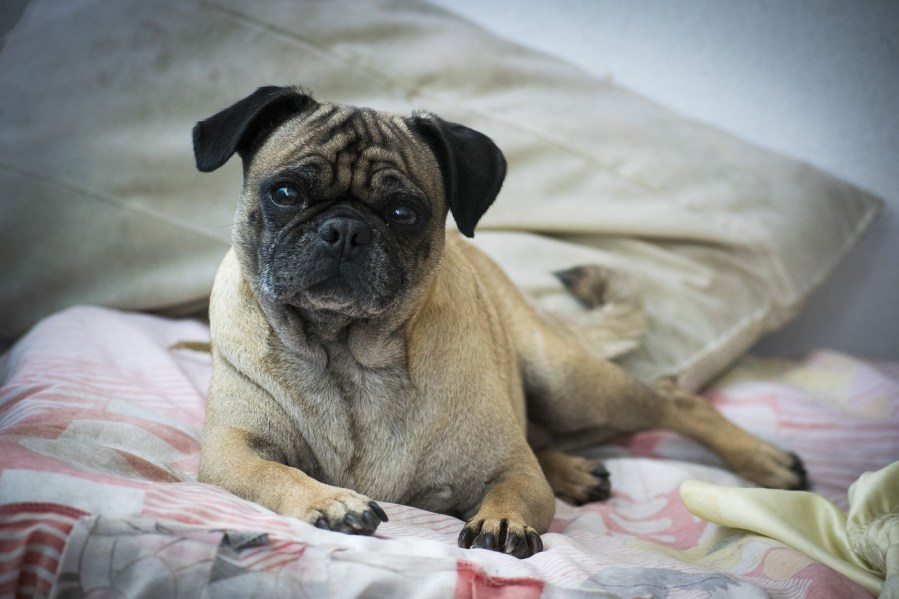 Pug Dog breeds – Complete Profile, History, and Care. https://www.petspalo.com/