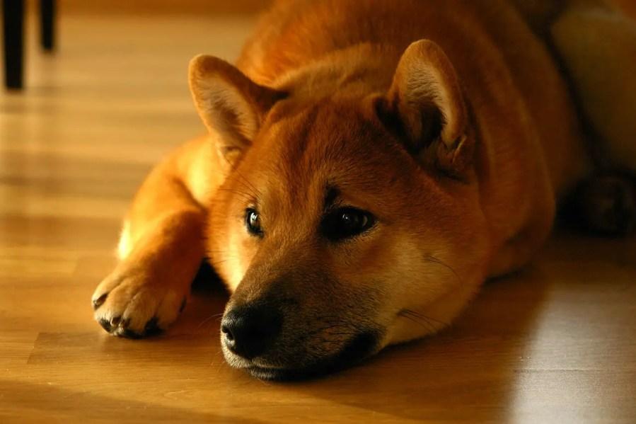 Shiba Inu Dog Breed - Complete Profile, History, and Care. https://www.petspalo.com