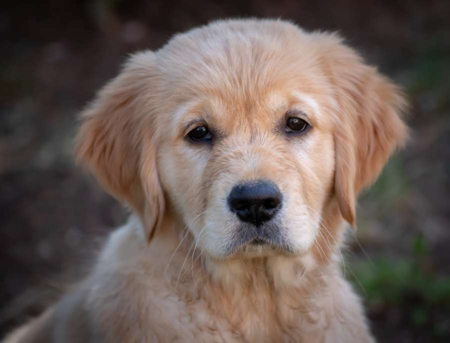 golden retriever_All you need to know. https://www.petspalo.com