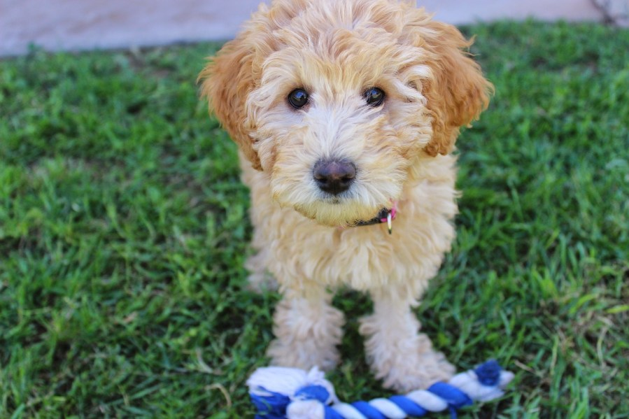 Labradoodle Dog Breed - Complete Profile, History, and Care. https://www.petspalo.com
