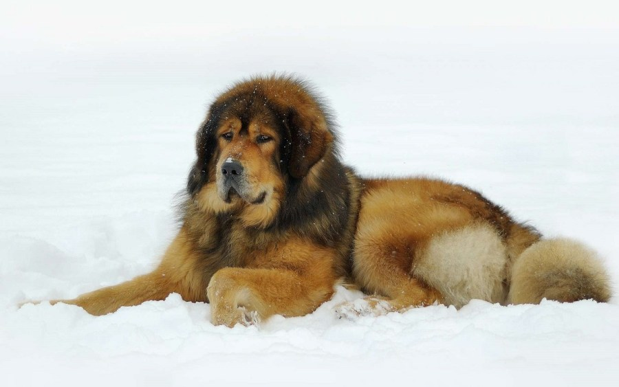 Tibetan Mastiff - Complete Profile, History, and Care. https://www.petspalo.com