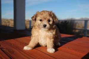 Aussiedoodle Dog Breed - Complete Profile, History, and Care. https://www.petspalo.com