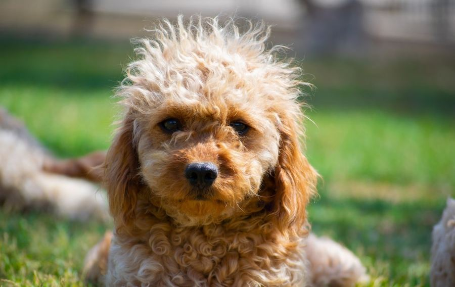 Cavapoo dog breed - Complete Profile, History, and Care. https://www.petspalo.com