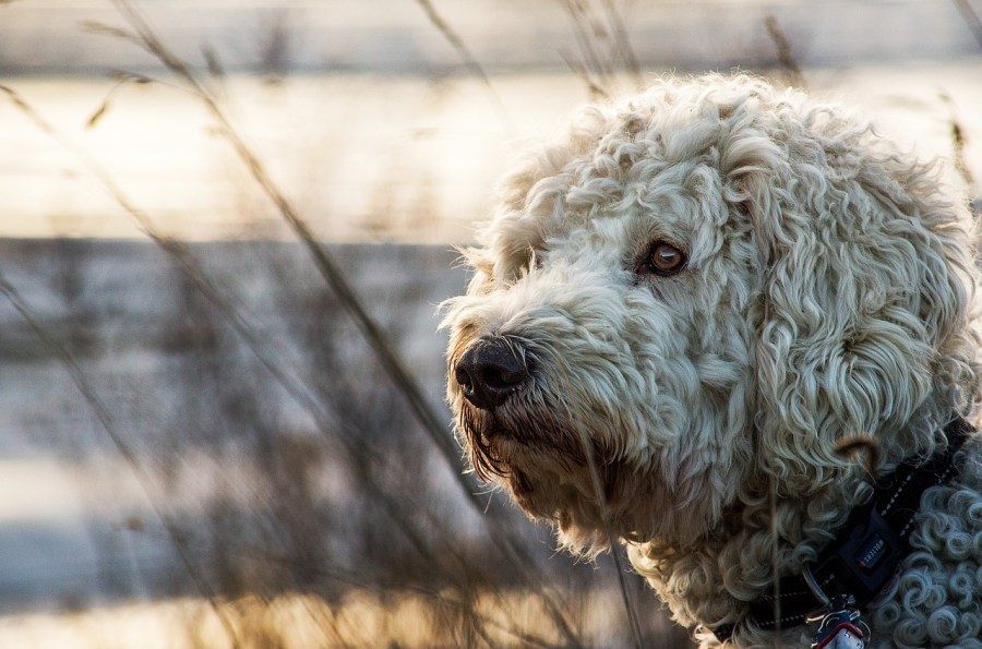 Goldendoodle Dog Breed - Complete Profile, History, and Care. https://www.petspalo.com