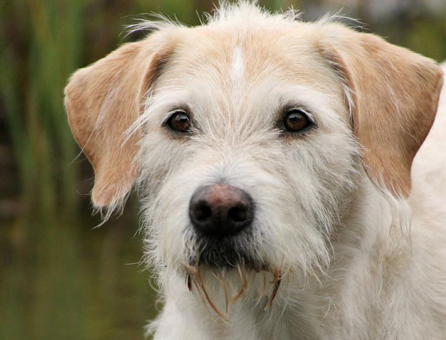 Irish Wolfhound Dog Breed - Complete Profile, History, and Care. https://www.petspalo.com