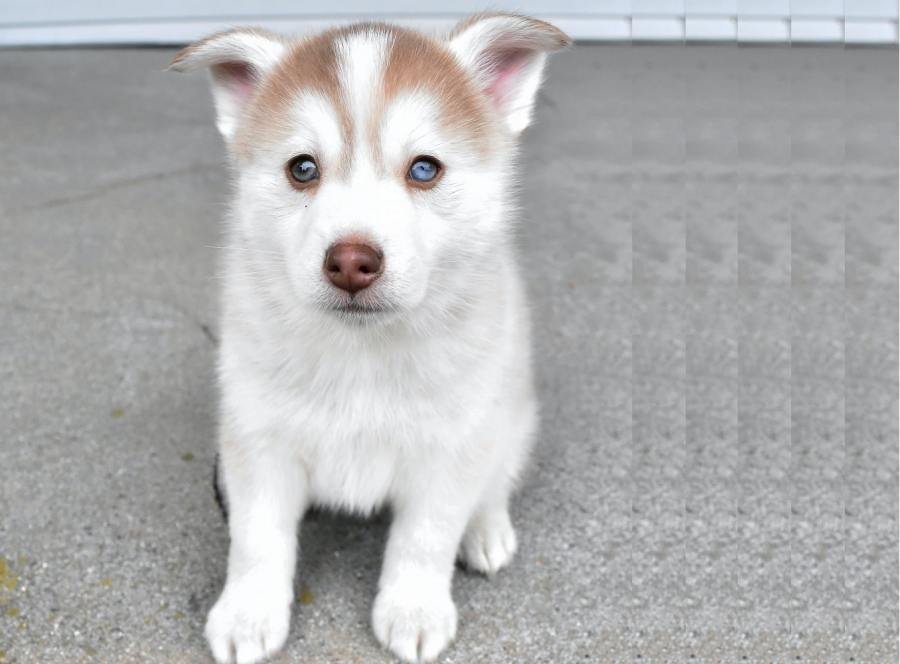 Pomsky Dog Breed - Complete Profile, History, and Care. https://www.petspalo.com